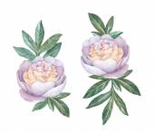 Watercolor peony flowers — Stock Photo