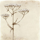 Yarrow flower drawing. — Stock Photo