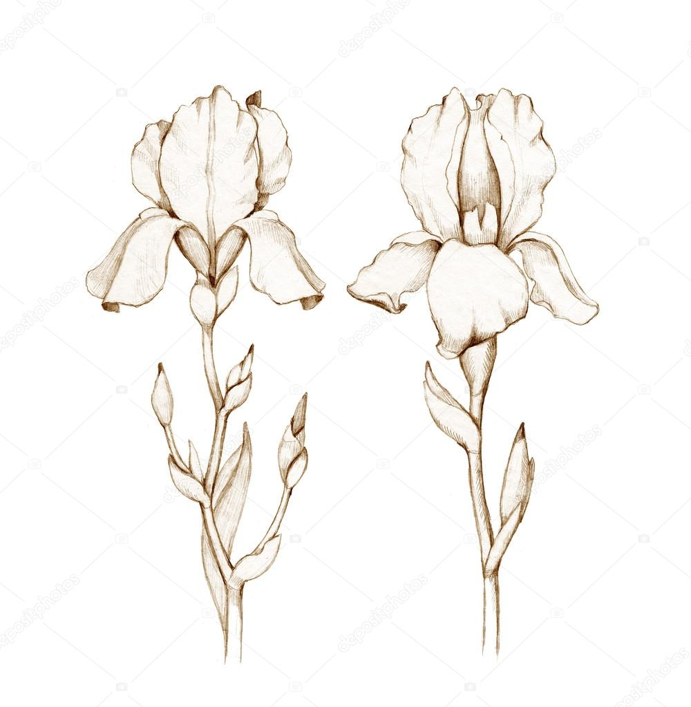 Pencil Drawing Of Iris Flowers Stock Photo 169 Sashsmir 59829439