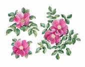 Watercolor dog rose — Stock Photo