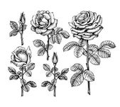 Ink illustrations of roses — Stock Photo