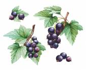 Watercolor black currants illustrations — Stock Photo