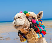 Camel head at Egypt beach — Stock Photo