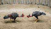 Cockfighting — Stock Photo