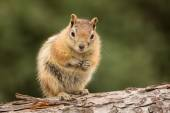 Cute Chipmunk well fed on nuts and seeds — Stock Photo