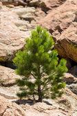 Small Ponderosa Pine at Turtle Rocks Colorado — Stock Photo