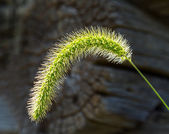 Backlit grass seedhead thought to be Timothy — Stock Photo