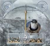 Blue Jay in window bird feeder  — Stock Photo