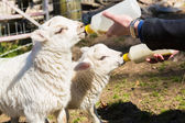 Young adult woman feeding two newborn lambs from bottles — Stock Photo