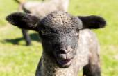 Portrait of Shropshire lamb in meadow — Stock Photo