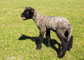 Side view of Shropshire lamb in meadow — Stock Photo