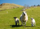 Sheep and lambs in welsh mountain farm — Stock Photo