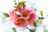 Flowering in April and May - Flowering bud and flower. — Foto Stock