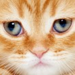 Close up snout of British shorthair kitten cat — Stock Photo #60778171