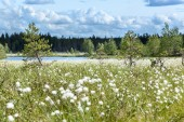 White cotton grass — Stock Photo