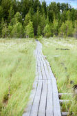 Wooden pathway to evergreen forest — Stock Photo