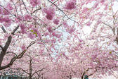 Cherry blossoms in Stockholm at Kungstradgarden, Garden of King — Stock Photo