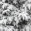 Coniferous tree branches under snow — Stock Photo #59399013