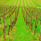 Young Vineyard — Stock Photo