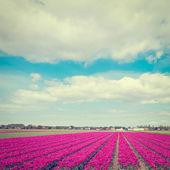 Season of Tulips — Stock Photo