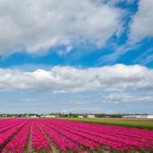 Fields of Tulips — Stock Photo