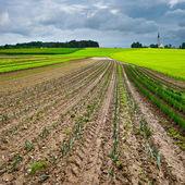 Cabbage Plantation  — Stock Photo