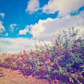 Apple Trees — Foto de Stock