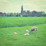 Grazing Sheep — Stock Photo #68001697