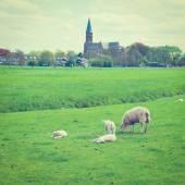 Grazing Sheep — Stock Photo