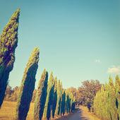 Cypresses — Stock Photo