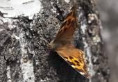 Vanessa atalanta butterfly — Stock Photo