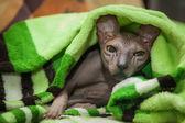 çıplak kedi — Stok fotoğraf