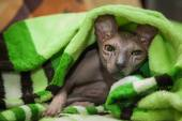 Naked cat — Stock Photo