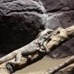 Frill-necked lizard on branch tree — Stock Photo #57245747