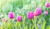 Little pink tulips. — Stock fotografie