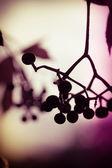 Beeren herbst — Stockfoto