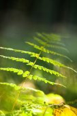 Fern in forest — Stock Photo