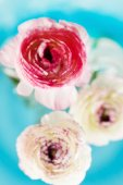 Ranunculus in vase — Stock Photo