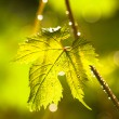 Rain drops on grape leaves — Stock Photo #54999079