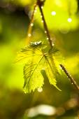 Drops on grape leaf — Stock Photo