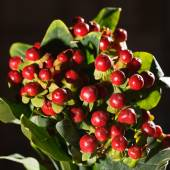Bunch of  christmas berries — Stock Photo