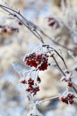 Ashberry twig with snow — Stock Photo