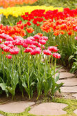 Colorful tulips in garden — Stock Photo