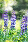 Wild purple lupines — Stock Photo