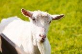 Portrait of white goat — Stock Photo