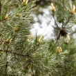 Pine branch closeup — Stock Photo #61513577