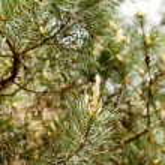 Pine branch closeup — Stock Photo #61513579