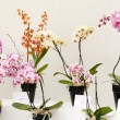Orchid flowers in pots — Stock Photo #61590891