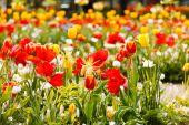 Tulipas coloridas no jardim — Fotografia Stock