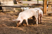 Two pigs on the farm — Photo